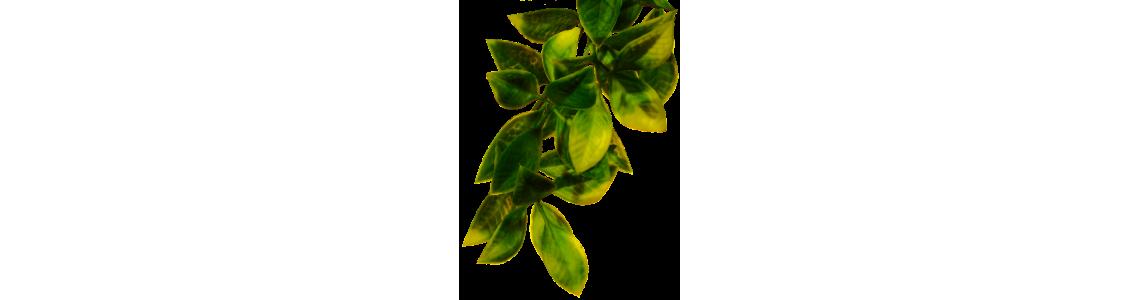 Rośliny, Konary